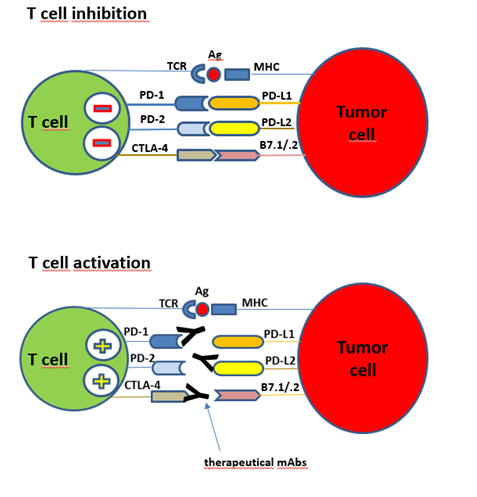 Immune checkpoints interactions between T cell and tumor cell.